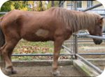 Pferd mit Lebererkrankung